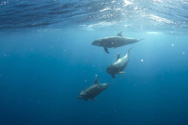 Tauchen aud den Seychellen mit Delfinen